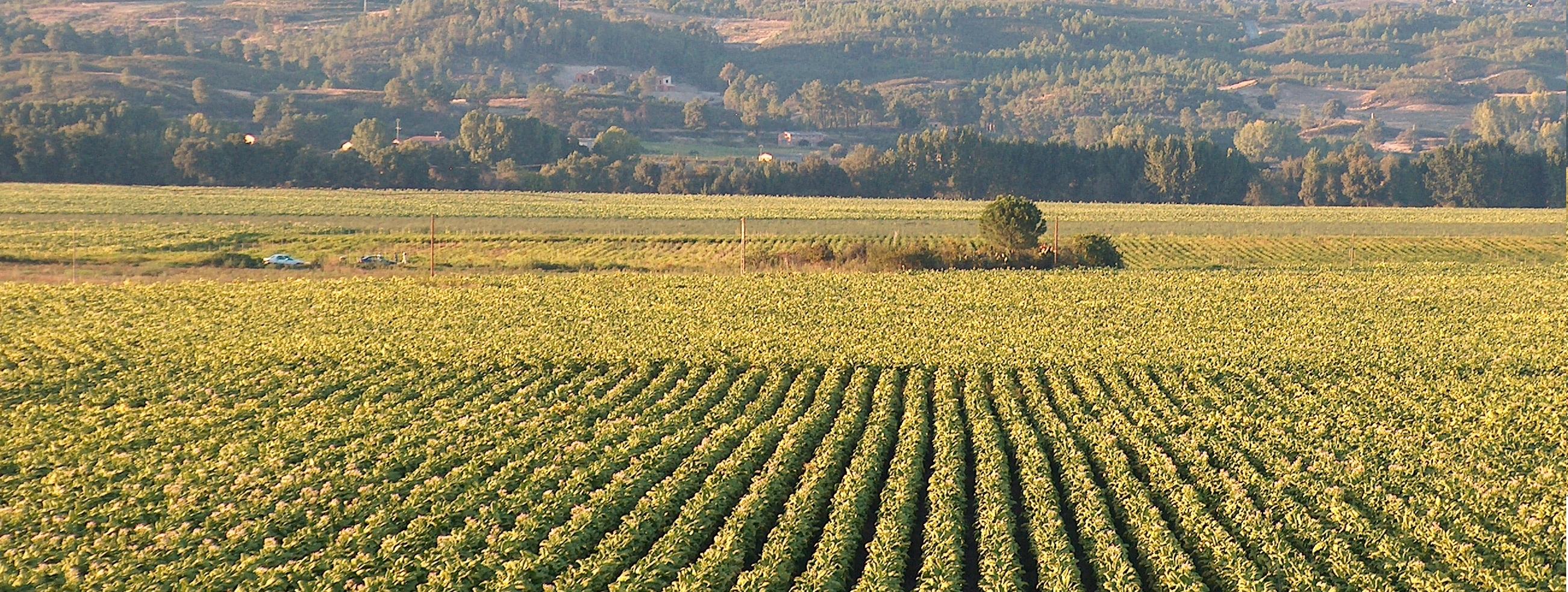 Paisaje de campos de cultivo de tabaco