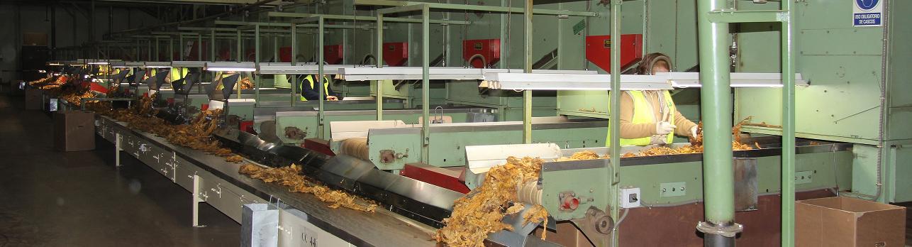 Selección de tabaco de en la fábrica