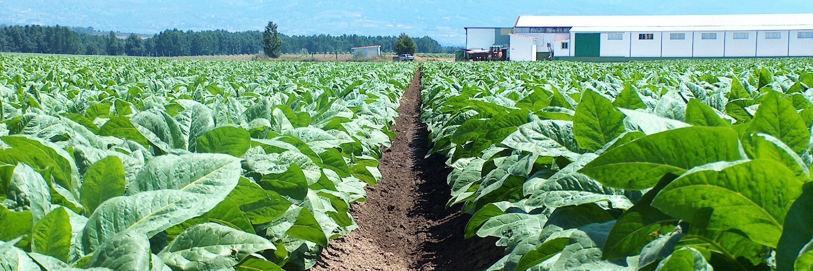 Campo de cultivo de tabaco y fábrica