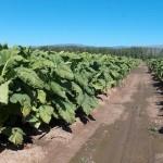 Campo de cultivo de tabaco