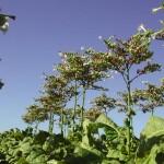 Imagen de la planta del tabaco