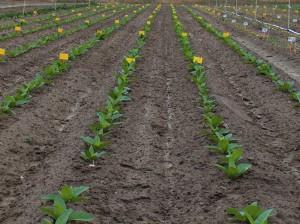 Germinación de la planta del tabaco